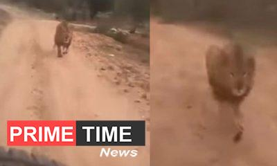 Lion got angry after seeing people doing safari, race behind for hunting, see VIDEO