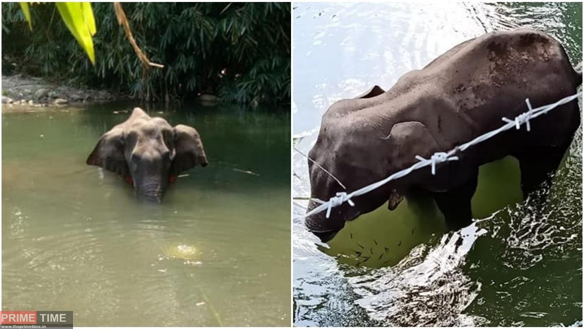 Pregnant Elephant Died